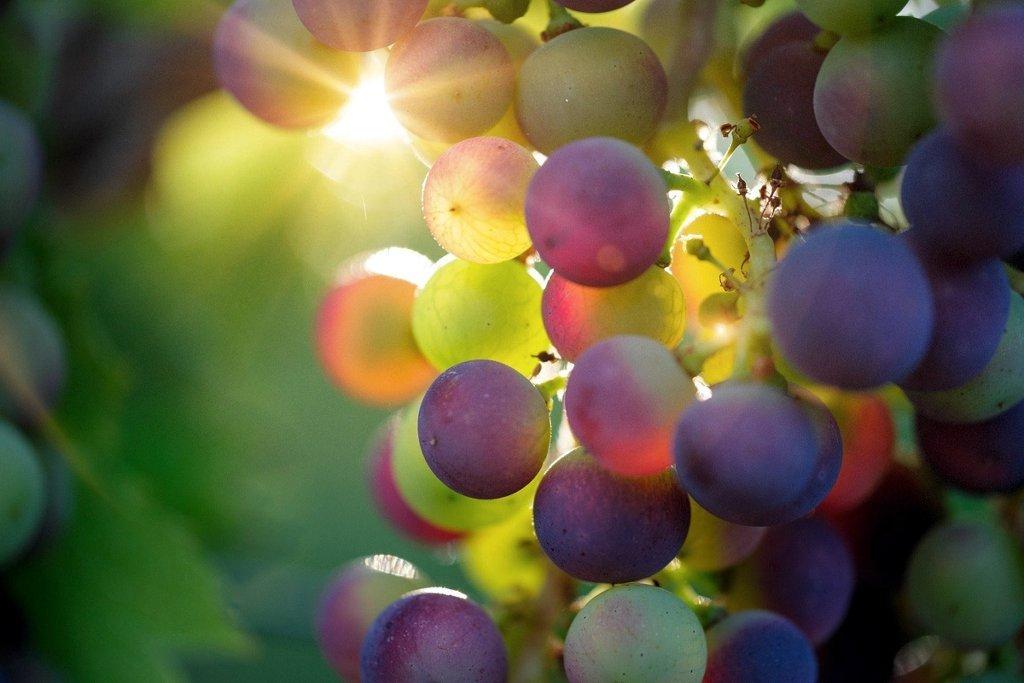 Виноград оказался защитником кожи от ультрафиолета