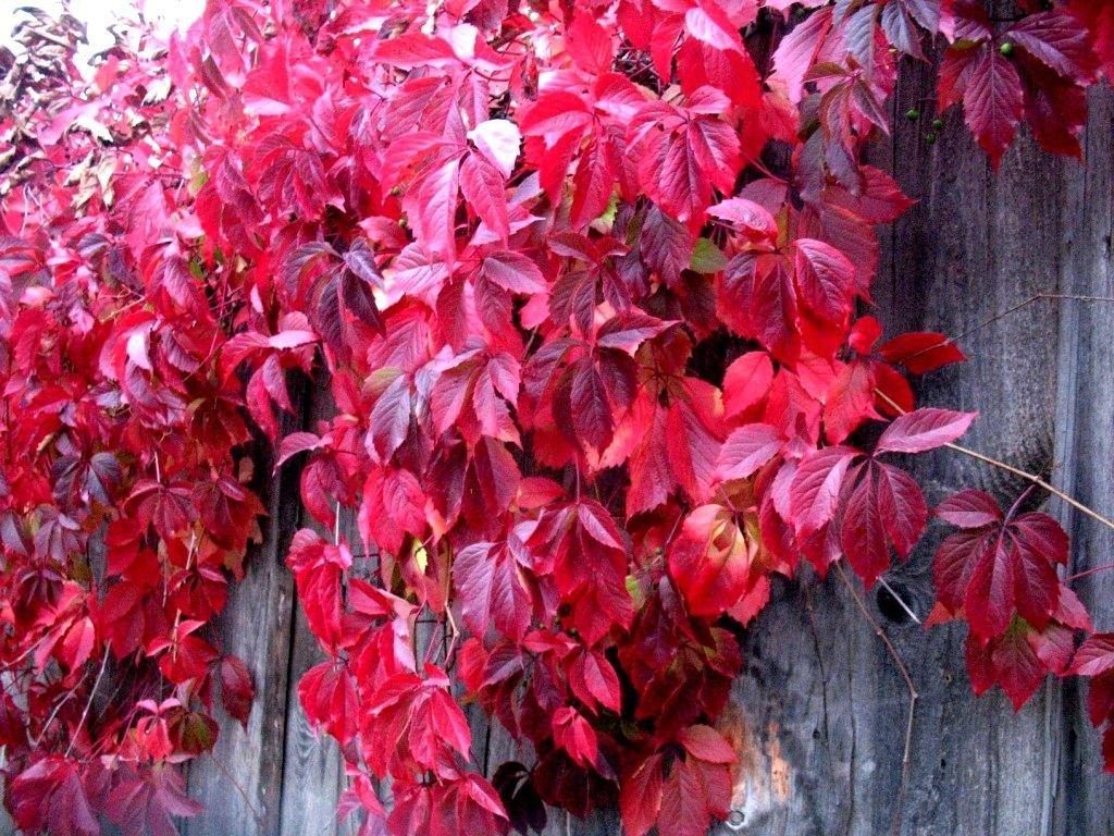 девичий виноград на входе садового участка