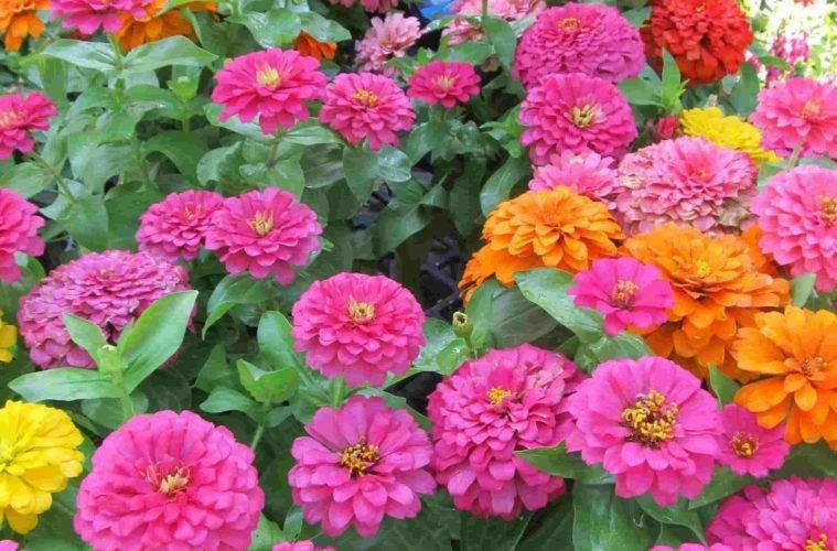 Какие посадить цветы: циния