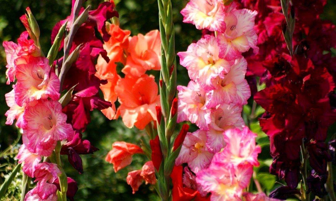 Какие посадить цветы: гладиолусы