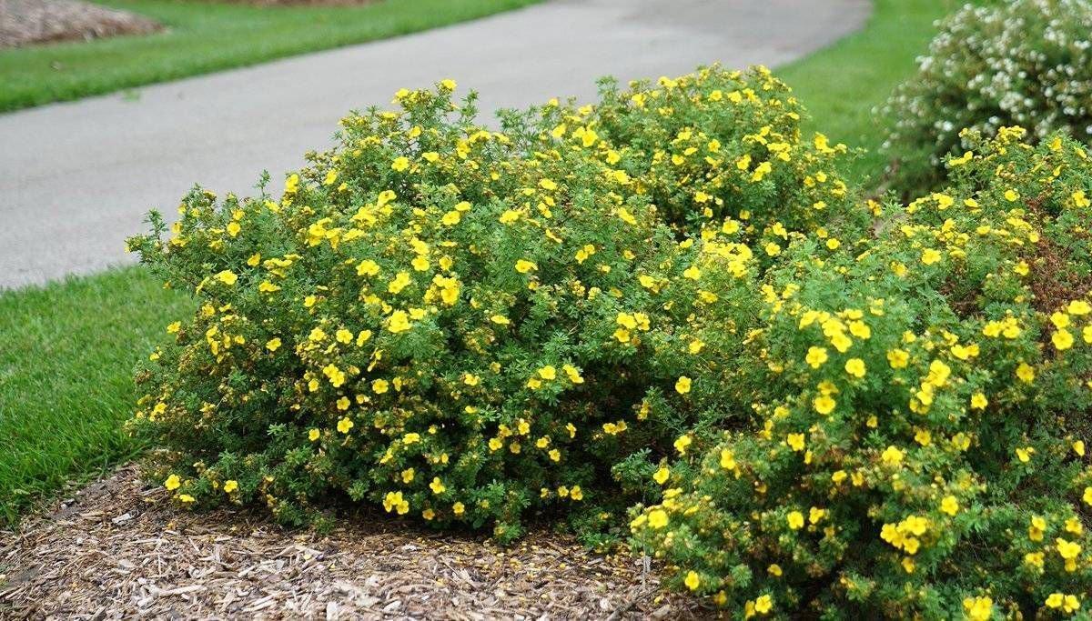 лапчатка кустарниковая на входе садового участка