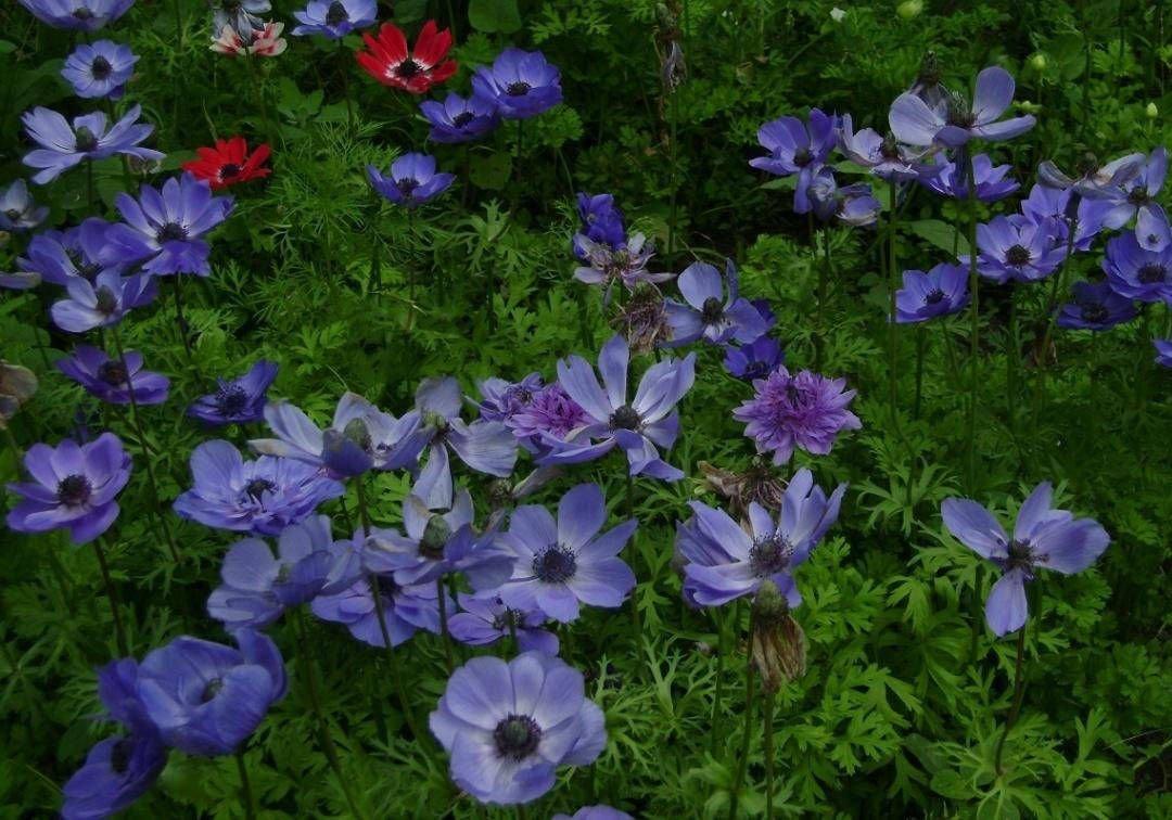 Какие посадить цветы: анемоны