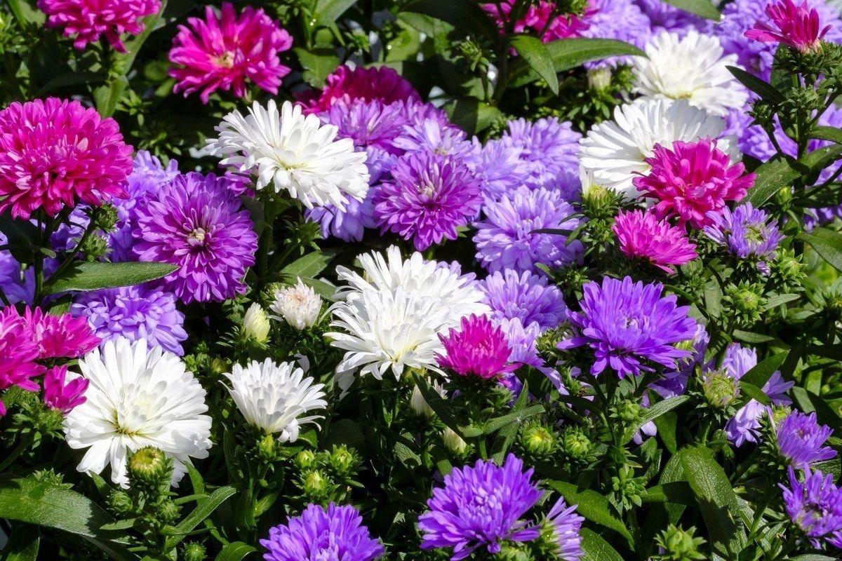 Какие посадить цветы: астры