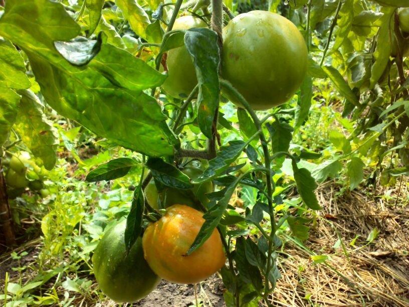 Фитофтора на помидорах начинается с листьев, фото автора